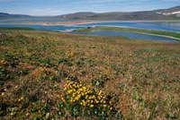 Clumps of Yellow Marsh Saxifrage on Summer Tundra. Poeton Ba