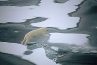 A polar bear jumps across a stretch of water on melting sea