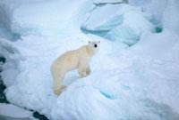 A polar bear climbing up onto a piece of pressure ice. Franz 22001000525| 写真素材・ストックフォト・画像・イラスト素材|アマナイメージズ