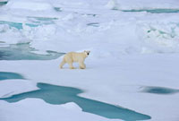 A Polar bear walking on melting ice floes. Franz Josef Land