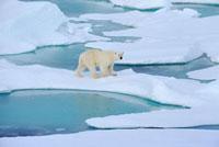 A Polar bear walking on melting ice floes. Franz Josef Land