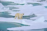 A Polar bear walking on melting ice floes. Franz Josef Land 22001000532| 写真素材・ストックフォト・画像・イラスト素材|アマナイメージズ