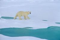 A Polar bear walking on melting sea ice. Franz Josef Land,