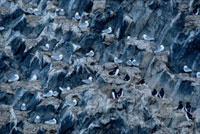 Brunnich's guillemots & Kittiwakes on Rubini Rock bird clif