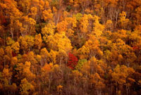 Autumn colour in a forest above Khailino. Kamchatka,Siberi