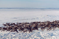 A Sami reindeer herd at their winter pastures near Lovozero