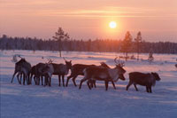 A group of reindeer at sunset near Numto. Khanty Mansisyk,