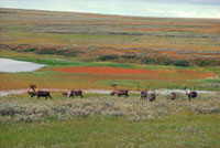 Reindeer graze on the multicoloured summer tundra of grasses