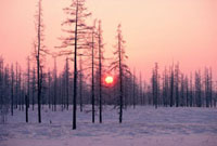 Winter sunrise behind larch trees coated with hoar frost Yam