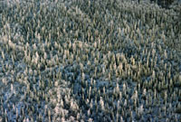 Aerial view of taiga (boreal forest) with a new snow in the