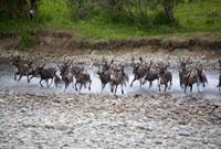 Reindeer crossing the Bolshaia Paipudyna River in the Polar 22001000575| 写真素材・ストックフォト・画像・イラスト素材|アマナイメージズ