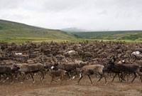 A herd of reindeer at their summer pastures in the Polar Ura