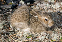 A young leveret (hare) in boreal forest in the Purovsky Regi