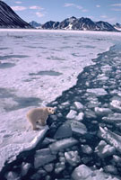 Polar Bear walks by the Ice edge in summer off the glaciated