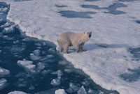Water streams off Polar Bear that has just swum in a lead. S