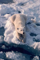 Polar bear sits and waits at the edge of a lead while huntin