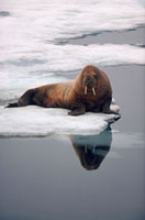 Young Walrus on an Ice Floe off the North Coast of Spitsberg