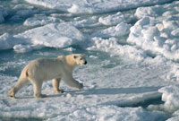 Young female bear walks quickly over summer pack ice near Sp