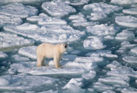 Young female Polar Bear wanders on summer pack ice looking f