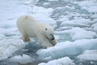 Polar bear has trouble crossing from one ice floe to another