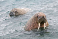 Young bull walrus and companion in shallow water. Spitsberge