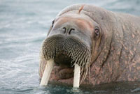 Young bull walrus in shallow water. Spitsbergen