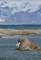 Young bull walrus in shallow water�Cwatching an arctic tern