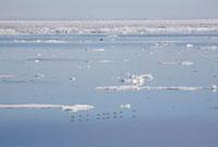 Group of Brunnich's Guillemot,reflected in the dead calm w 22001000670| 写真素材・ストックフォト・画像・イラスト素材|アマナイメージズ