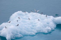 Arctic terns rest on a piece of iceberg ice by Lilliehookbre