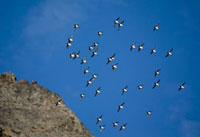Little Auks in flight,this shows their characteristic tigh