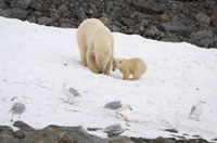 Mother Polar Bear chews on a bone from a dead whale,helped