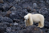 Mother Polar Bear with her small cub stand on the rocks and