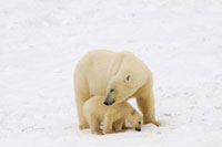Mother Polar Bear chews on a bone from a dead whale,helped 22001000700| 写真素材・ストックフォト・画像・イラスト素材|アマナイメージズ