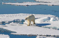 Polar Bear wanders the pack ice north of Spitsbergen. Polar