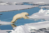 Polar Bear wanders the summer pack ice north of Spitsbergen
