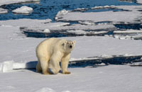 Polar Bear wanders the summer pack ice north of Spitsbergen.