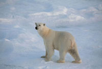 Curious female Polar Bear on the pack ice in the Hinlopen St