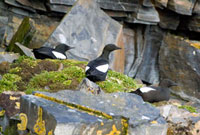 Black Guillemots actually nest in rocky crevices and rest on
