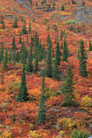 Spruce & Birch covered hillside in the Fall. Yukon. Canada.