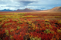 Tundra in Autumn colour. Northern Yukon. Canada