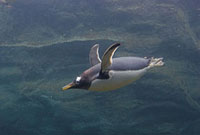 Gentoo penguin flies underwater. The fastest swimming pengui