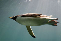 Swimming Gentoo Penguin seen from underneath,using feet as