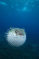 Spotted porcupinefish