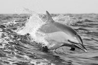 Pacific Spotted Dolphin
