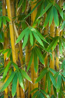 bamboo stalks and leaves