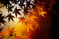 Colorful Japanese maple leaves in autumn