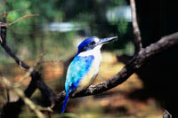 Kingfisher,perched on a branch