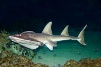 Bowmouth guitarfish (Rhina ancylostoma)