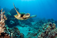 Green sea turtle an endangered species