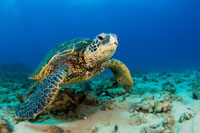 Green sea turtle on ocean floor